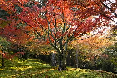 Japanese Maple (Acer palmatum) tree in fall, Kyoto, Japan