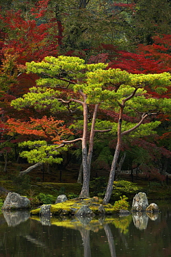 Japanese Maple (Acer palmatum) trees with conifers in fall, Kyoto, Japan