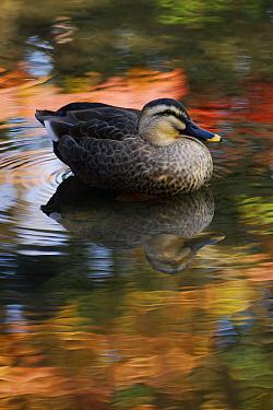 Spot-billed Duck (Anas poecilorhyncha), Kyoto, Japan