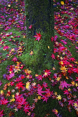 Japanese Maple (Acer palmatum) leaves in fall, Kyoto, Japan