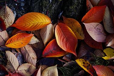 Japanese Persimmon (Diospyros kaki) leaves in fall, Kyoto, Japan