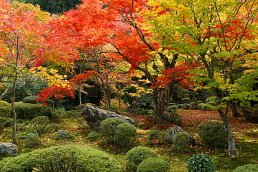 Japanese Maple (Acer palmatum) trees in fall, Kyoto, Japan