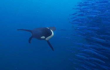 Orca (Orcinus orca) hunting Atlantic Herring (Clupea harengus) school, Senja Fjord, Norway