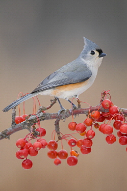 Tufted Titmouse (Baeolophus bicolor) with red berries, Kensington Metropark, Michigan
