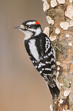 Downy Woodpecker (Picoides pubescens) male, Kensington Metropark, Michigan