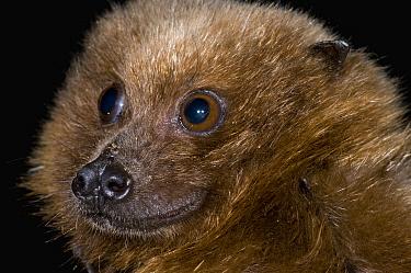 Rodrigues Flying Fox (Pteropus rodricensis), Organization for Bat Conservation, Michigan