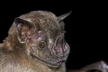 Jamaican Fruit-eating Bat (Artibeus jamaicensis), Organization for Bat Conservation, Michigan