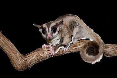 Sugar Glider (Petaurus breviceps), Organization for Bat Conservation, Michigan