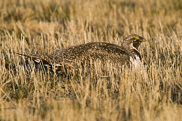 Sage Grouse (Centrocercus urophasianus) female, North Dakota