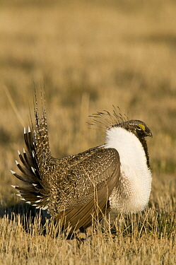 Sage Grouse (Centrocercus urophasianus) male in courtship display at lek, North Dakota