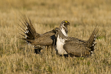 Sage Grouse (Centrocercus urophasianus) males facing off at lek, North Dakota
