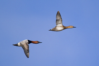 Canvasback (Aythya valisineria) male and female flying, North Dakota