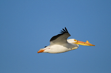 American White Pelican (Pelecanus erythrorhynchos) flying, North Dakota