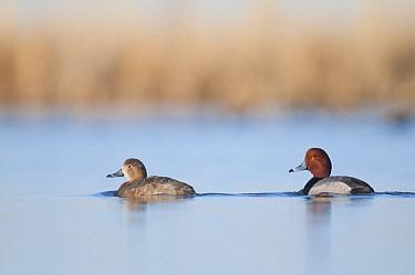 Redhead Duck (Aythya americana) female and male, North Dakota