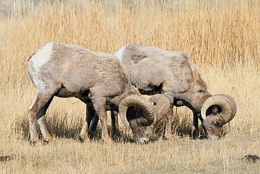 Bighorn Sheep (Ovis canadensis) rams grazing, Yellowstone National Park, Wyoming