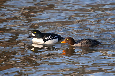 Barrow's Goldeneye (Bucephala islandica) male and female, Yellowstone National Park, Wyoming