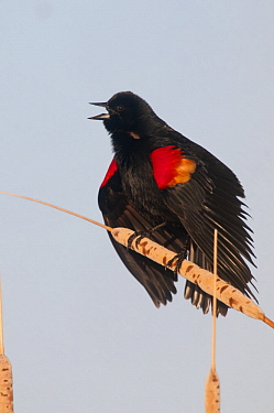Red-winged Blackbird (Agelaius phoeniceus) male in territorial display, J. Clark Salyer National Wildlife Refuge, North Dakota