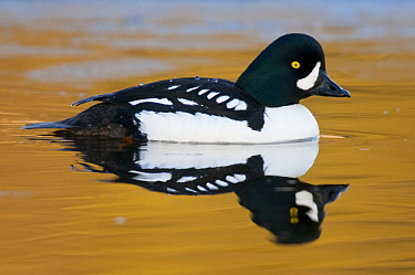 Barrow's Goldeneye (Bucephala islandica) male, Yellowstone National Park, Wyoming