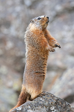 Yellow-bellied Marmot (Marmota flaviventris) on alert, Yellowstone National Park, Wyoming