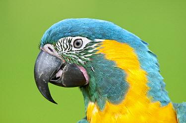 Blue-throated Macaw (Ara glaucogularis), Tambopata National Reserve, Peru