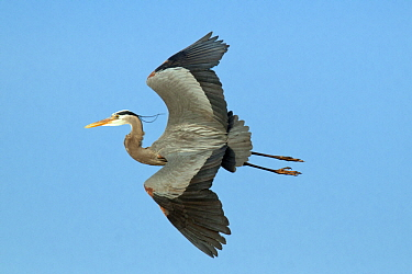 Great Blue Heron (Ardea herodias) flying, Kensington Metropark, Michigan