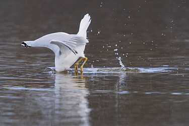 Herring Gull (Larus argentatus) foraging, North America