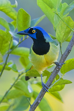 Green Jay (Cyanocorax yncas), Belize