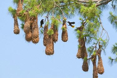 Chestnut-headed Oropendola (Psarocolius wagleri) pair at nests, Belize