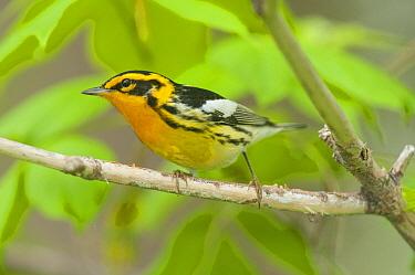 Blackburnian Warbler (Setophaga fusca), Crane Creek State Park, Ohio