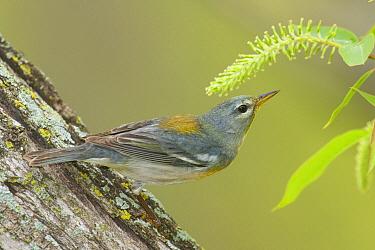 Northern Parula (Setophaga americana), Crane Creek State Park, Ohio