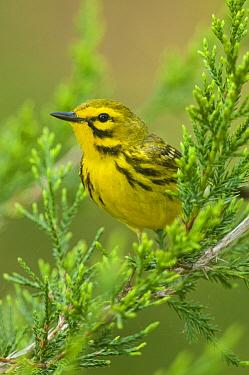 Prairie Warbler (Setophaga discolor), Crane Creek State Park, Ohio
