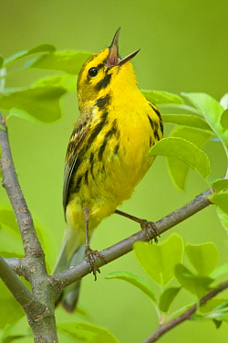 Prairie Warbler (Setophaga discolor) calling, Crane Creek State Park, Ohio