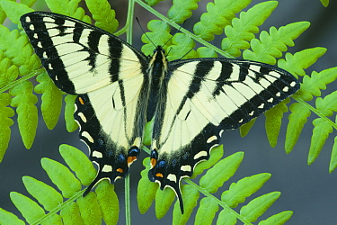 Tiger Swallowtail (Papilio glaucus) butterfly, Howell Nature Center, Michigan