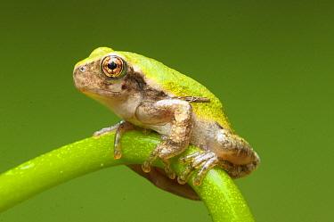 Gray Tree Frog (Hyla versicolor), northern Michigan
