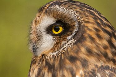 Short-eared Owl (Asio flammeus), Howell Nature Center, Michigan