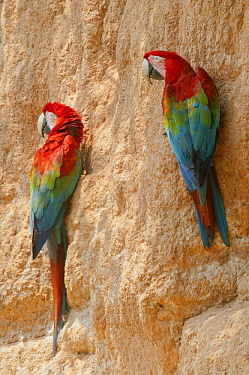 Scarlet Macaw (Ara macao) pair at mineral lick, Tambopata National Reserve, Peru