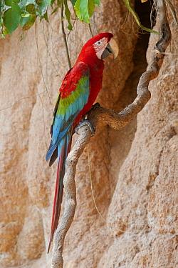 Scarlet Macaw (Ara macao) at mineral lick, Tambopata National Reserve, Peru