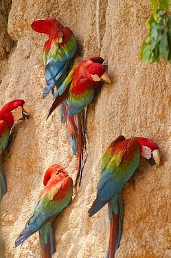 Scarlet Macaw (Ara macao) group at mineral lick, Tambopata National Reserve, Peru
