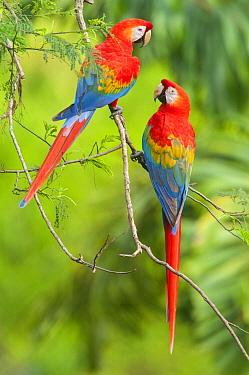 Scarlet Macaw (Ara macao) pair, Tambopata National Reserve, Peru