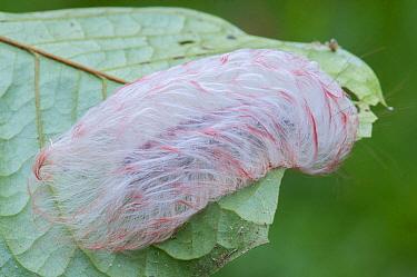Flannel Moth (Megalopygidae) caterpillar, Tambopata National Reserve, Peru