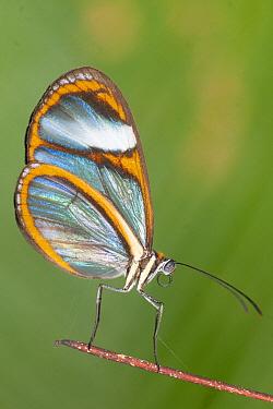 Lavinia Clearwing (Hypoleria lavinia) butterfly, Tambopata National Reserve, Peru