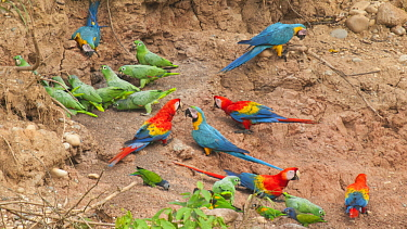 Scarlet Macaw (Ara macao), Blue and Yellow Macaw (Ara ararauna) and Mealy Parrot (Amazona farinosa) flock at mineral lick, Tambopata National Reserve, Peru