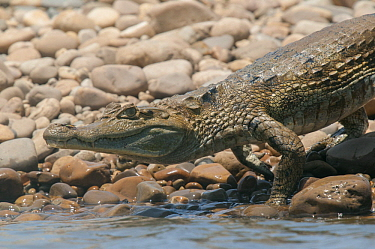 Spectacled Caiman (Caiman crocodilus) entering water, Tambopata National Reserve, Peru