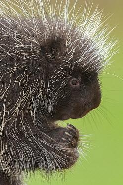 Common Porcupine (Erethizon dorsatum), Howell Nature Center, Michigan