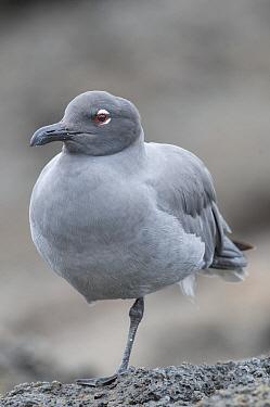 Lava Gull (Larus fuliginosus), Galapagos Islands, Ecuador