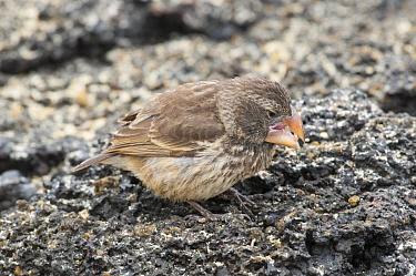 Large Ground Finch (Geospiza magnirostris) feeding on seeds, Galapagos Islands, Ecuador