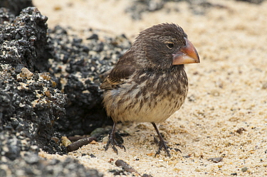 Large Ground Finch (Geospiza magnirostris), Galapagos Islands, Ecuador