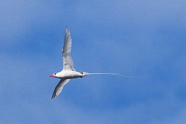 Red-billed Tropicbird (Phaethon aethereus) flying, Galapagos Islands, Ecuador