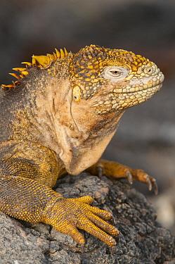 Galapagos Land Iguana (Conolophus subcristatus), Galapagos Islands, Ecuador