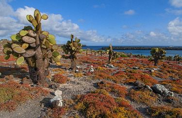 Opuntia (Opuntia echios) cacti, Galapagos Islands, Ecuador